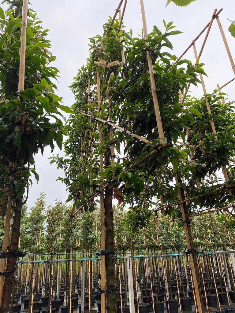 Prunus lusitanica 'Angustifolia' pleached 14-16 grade, 180cm clear stem, frame size 150cm wide x 120cm high