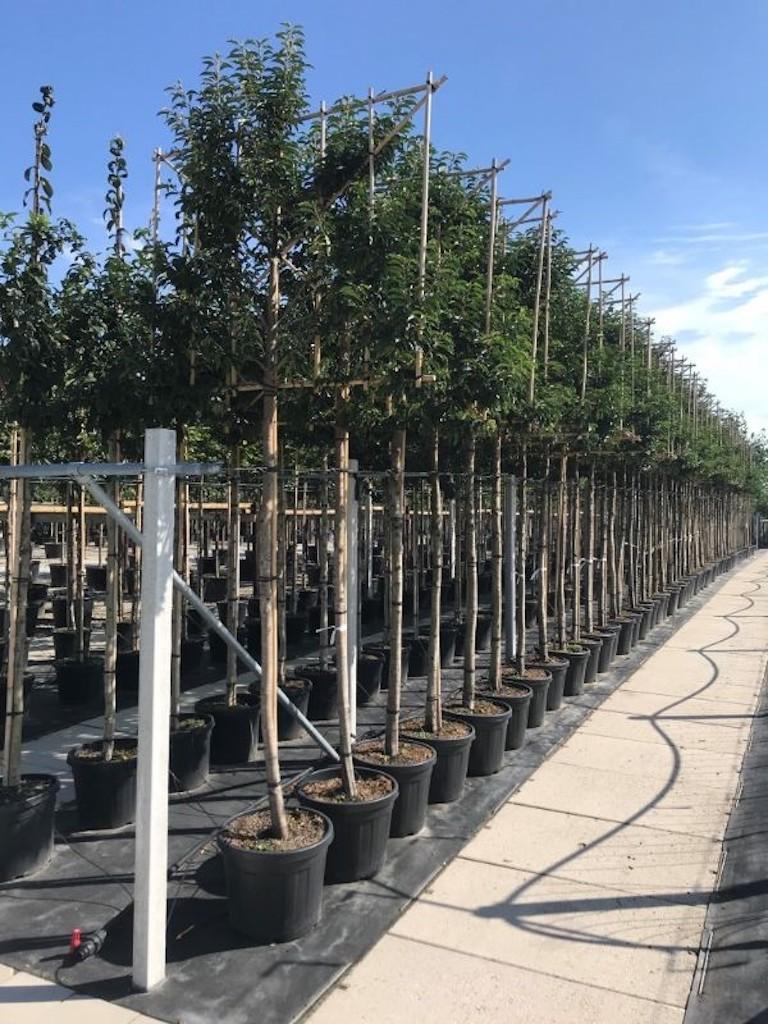Prunus lusitanica 'Angustifolia' pleached 14-16 grade, 190cm clear stem