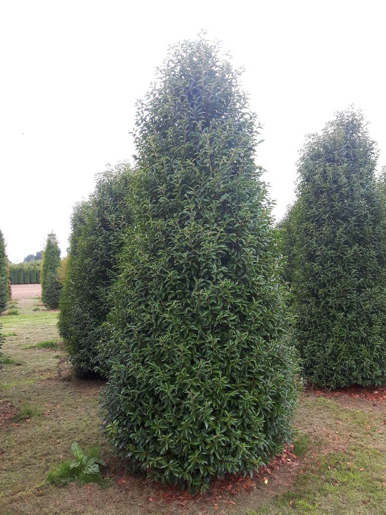 Prunus lusitanica 'Angustifolia' specimen hedge plants 350-400cm (1)