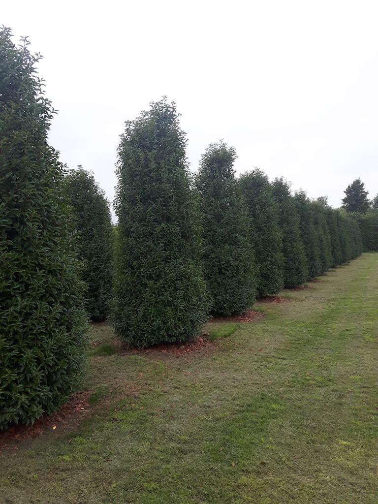 Prunus lusitanica 'Angustifolia' specimen hedge plants 350-400cm (2)