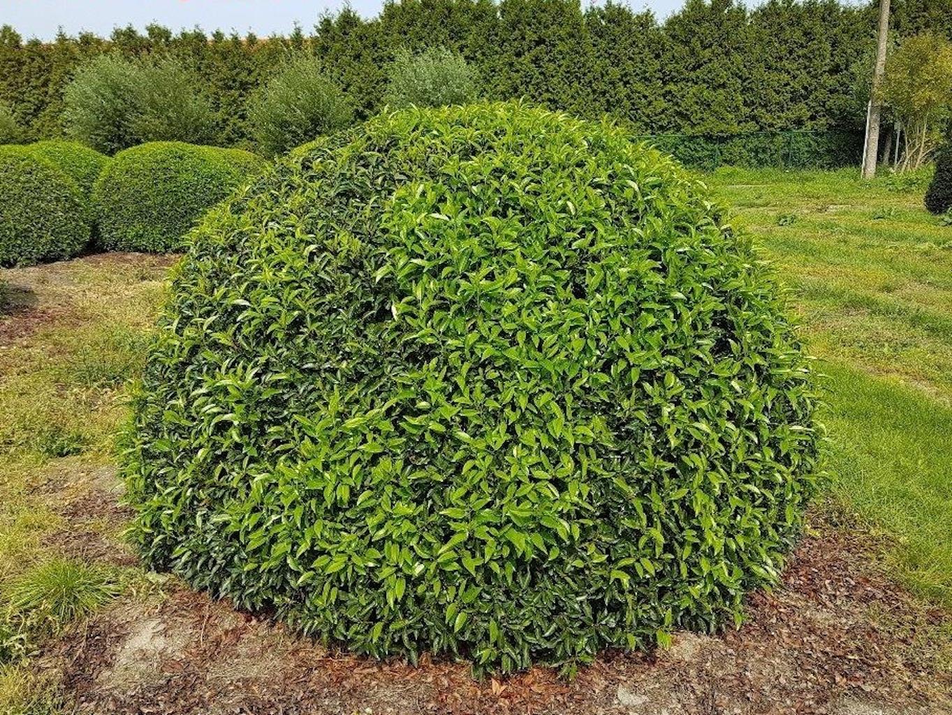 Prunus lusitanica 'Angustifolia' topiary ball 200-220cm diameter