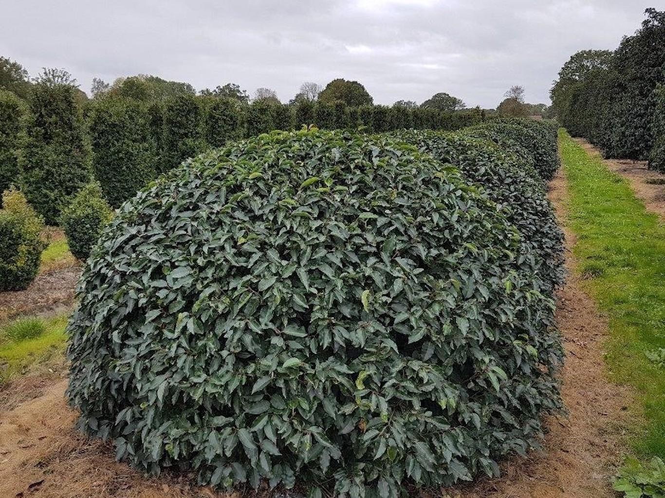 Prunus lusitanica (Portuguese Laurel) topiary ball 180-200-220cm diameter