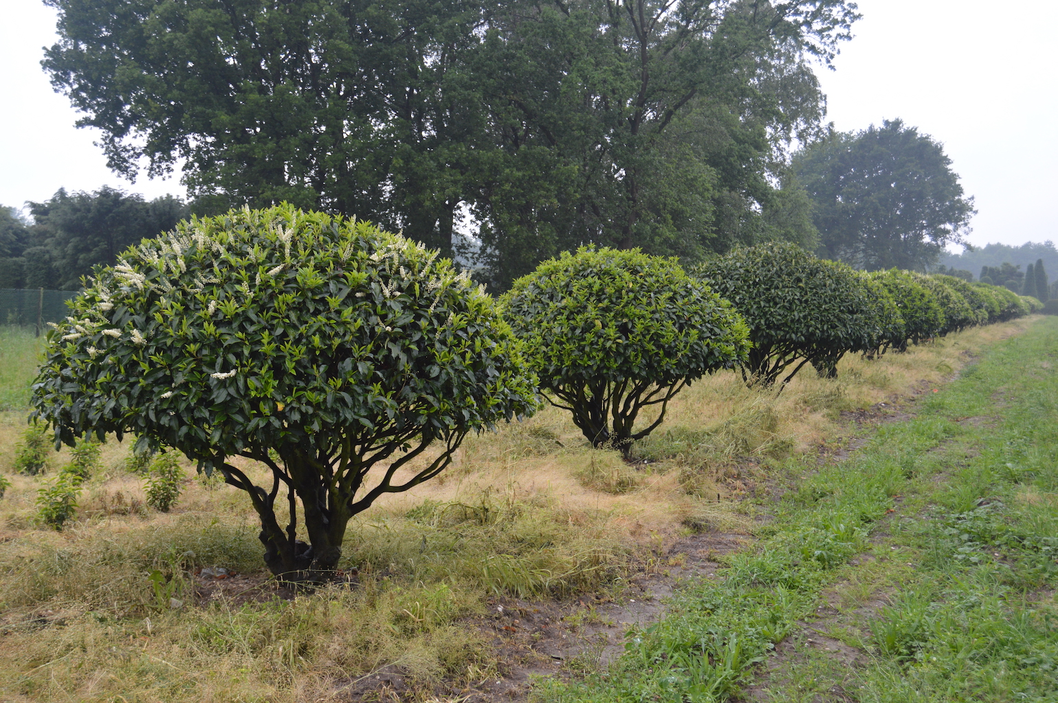 Prunus lusitanica multi-stem dome shaped specimens