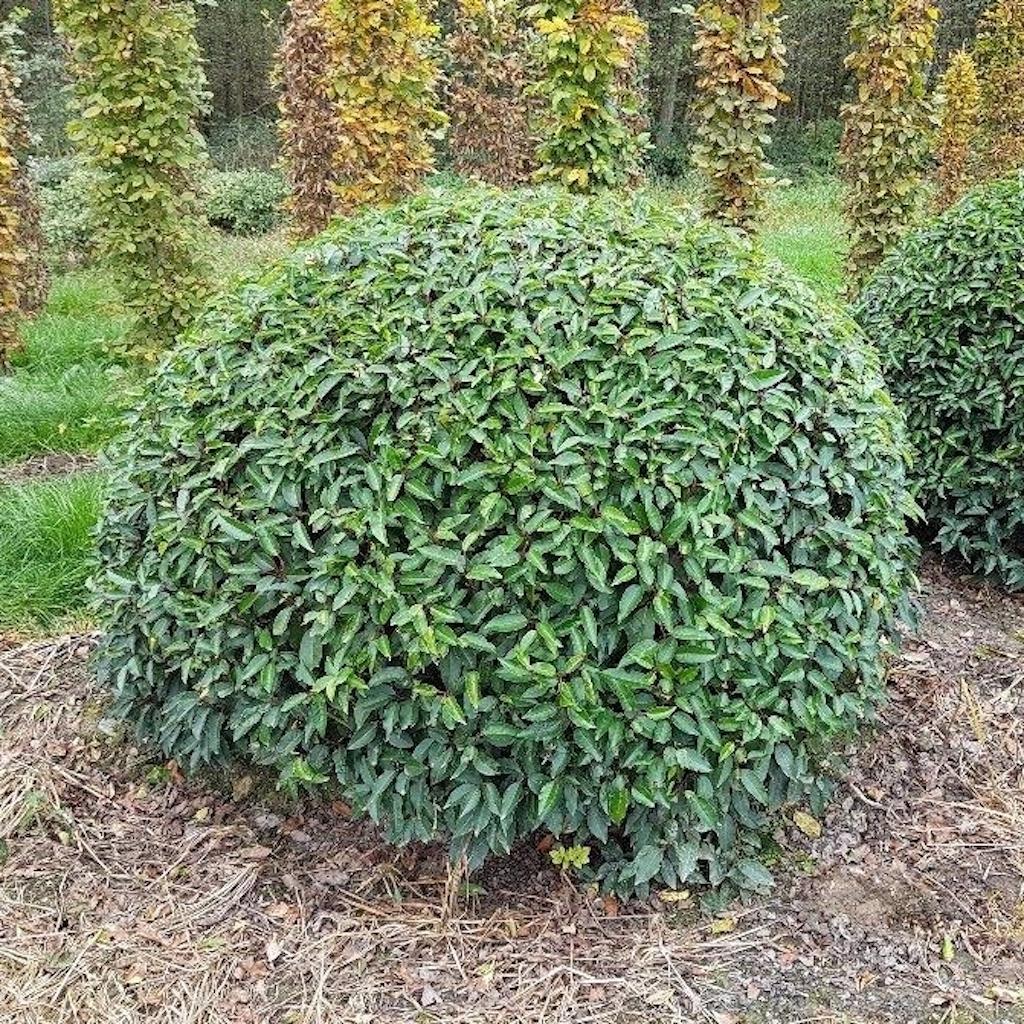 Prunus lusitanica topiary ball 180-200cm diameter