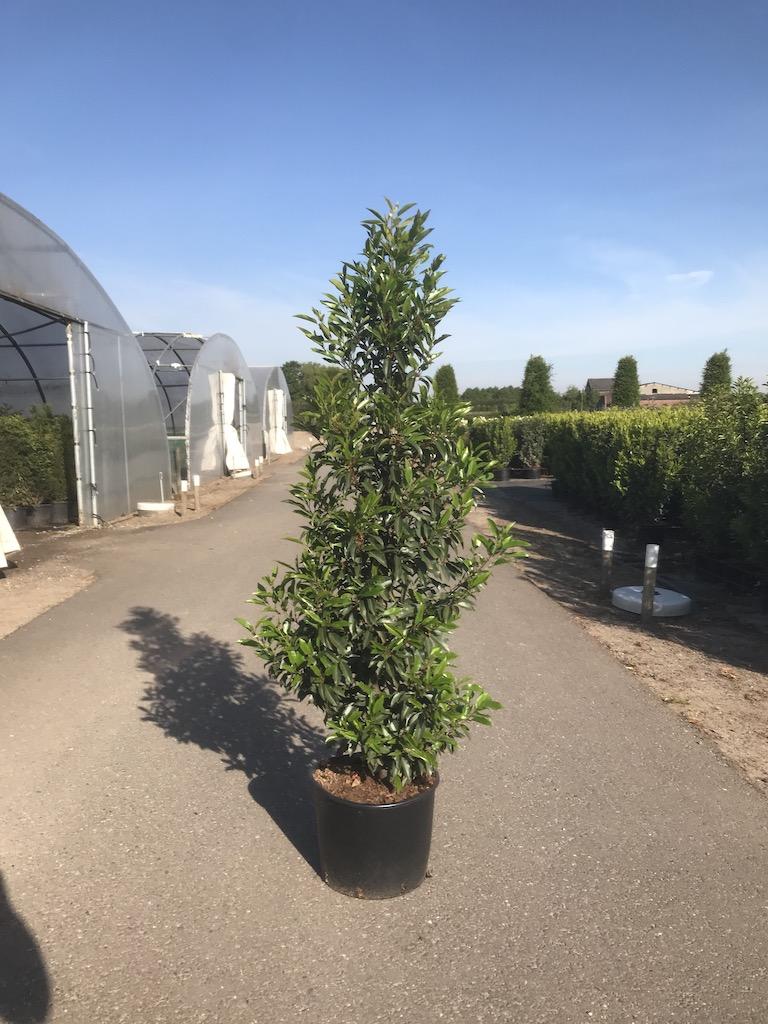 Prunus lusitcanica 'Angustifolia' hedge plant 150cm