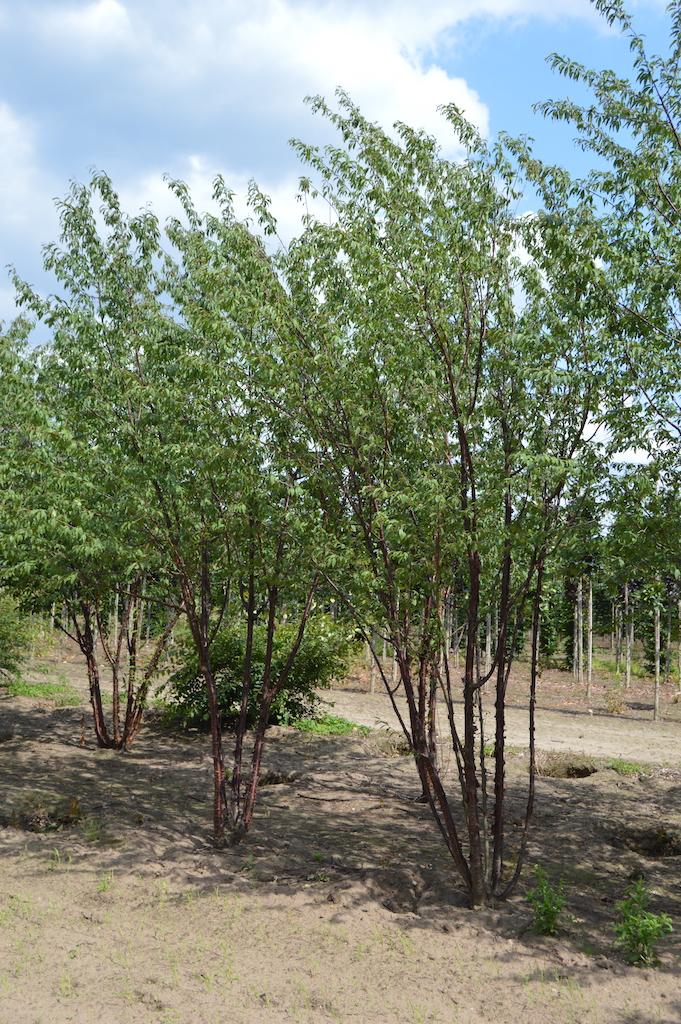 Prunus serrula multi-stem trees