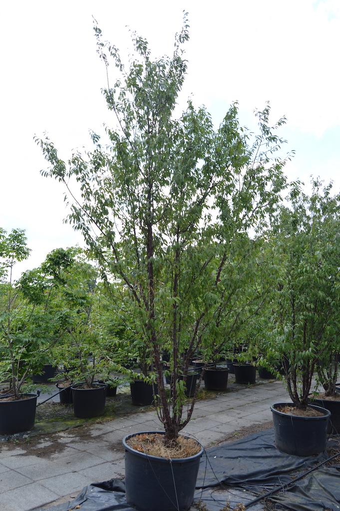 Prunus serrula multi-stems in container