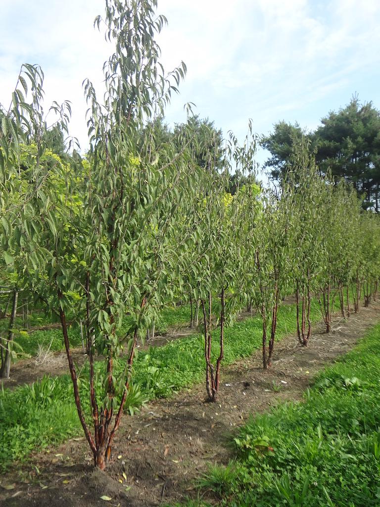Prunus serrula multi-stems