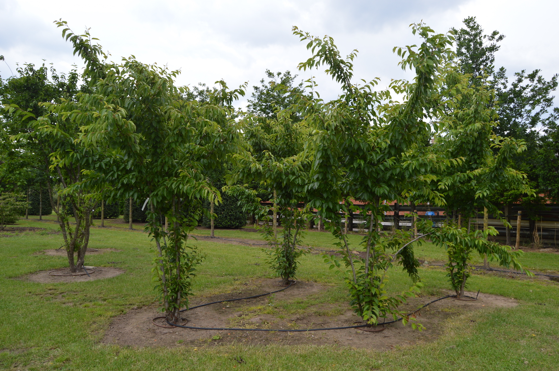 Prunus x yedonensis multi-stem trees (1)