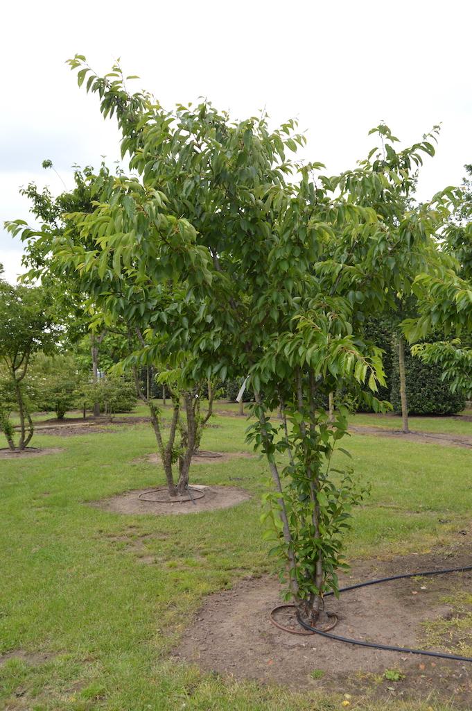 Prunus x yedonensis multi-stem trees (2)