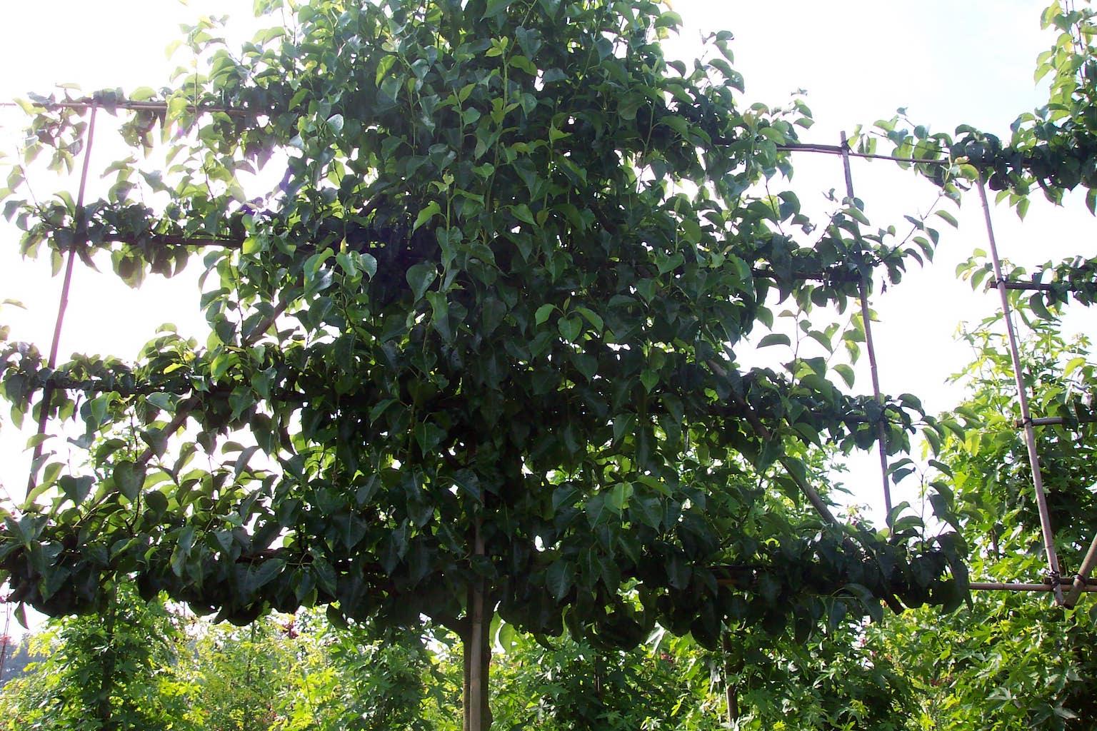 Pyrus calleryana 'Chanticleer' espalier pleached ornamental pear tree 18-20 grade