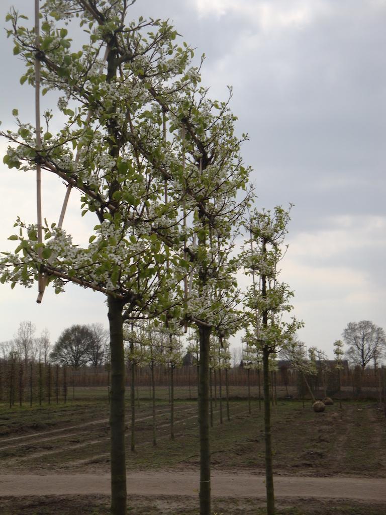 Pyrus calleryana 'Chanticleer' espalier pleached ornamental pear tree 20-25 grade in spring