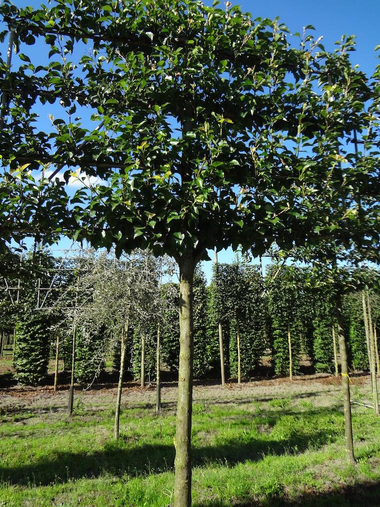 Pyrus calleryana 'Chanticleer' espalier pleached ornamental pear tree 20-25 grade