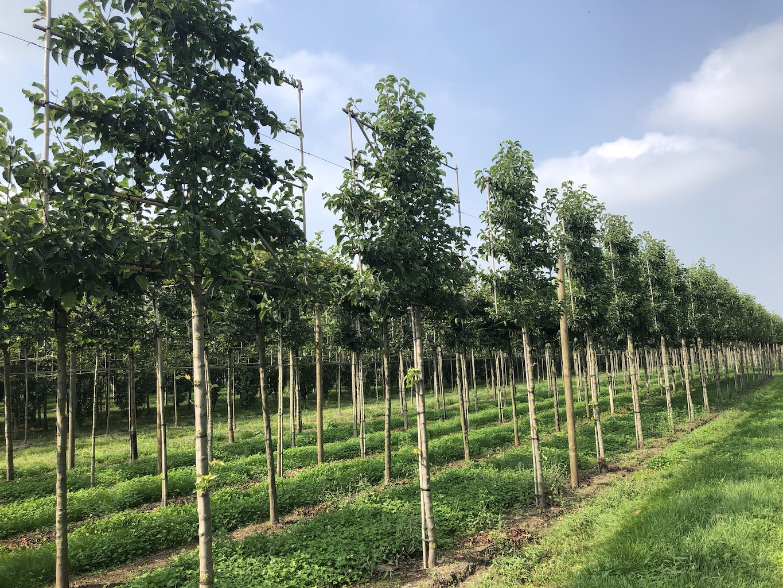 Pyrus calleryana 'Chanticleer' espalier pleached trees