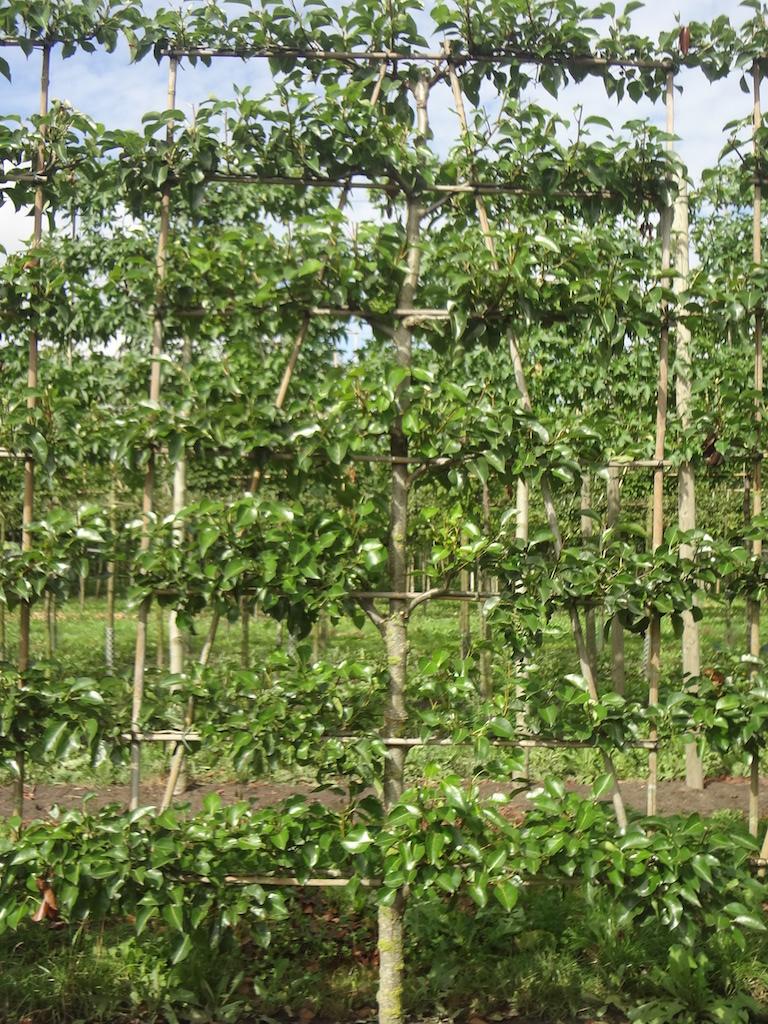 Pyrus calleryana 'Chanticleer' low espalier pleached ornamental pear tree 16-18 grade