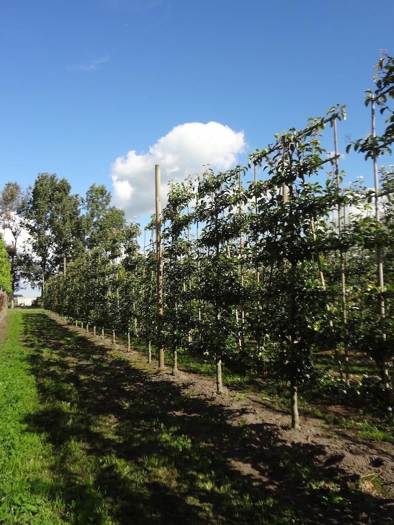 Pyrus calleryana 'Chanticleer' low espalier pleached ornamental pear trees 16-18 grade