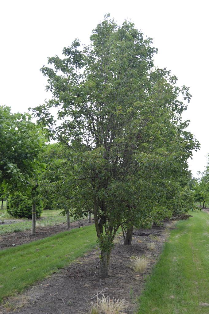 Pyrus calleryana 'Chanticleer' multi-stem specimen tree
