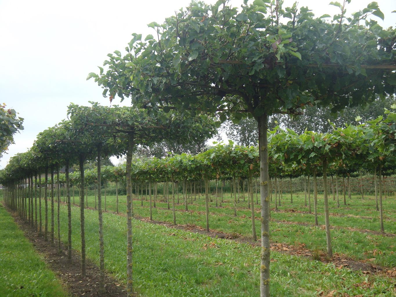 Pyrus calleryana 'Chanticleer' roof form trees 18-20 grade