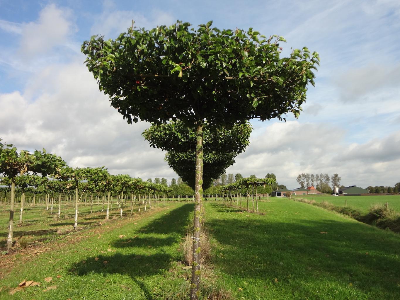 Pyrus calleryana 'Chanticleer' roof form trees 20-25 grade