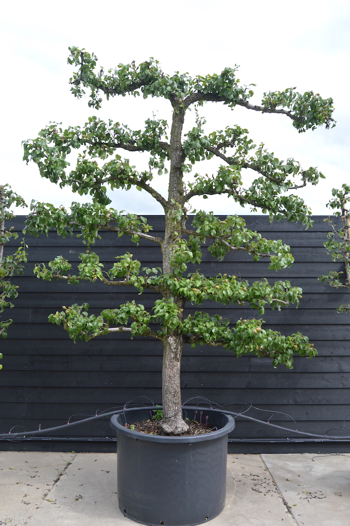 Pyrus communis 'Conference' espalier Pear tree (1)