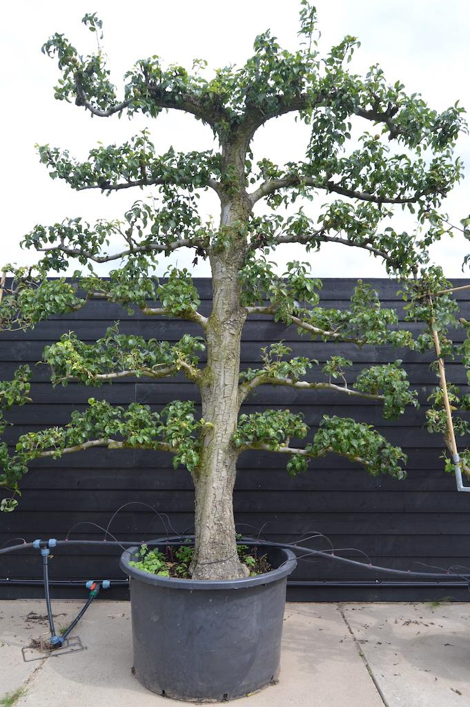 Pyrus communis 'Conference' espalier Pear tree (2)