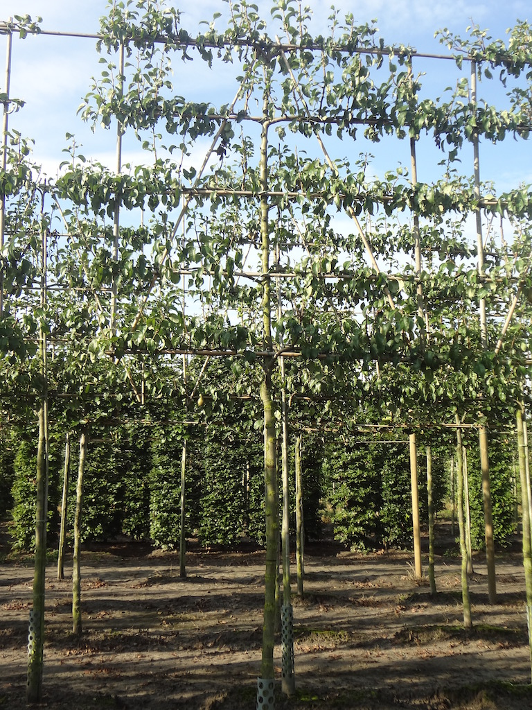 Pyrus communis 'Conference' espalier pleached pear tree 14-16 grade