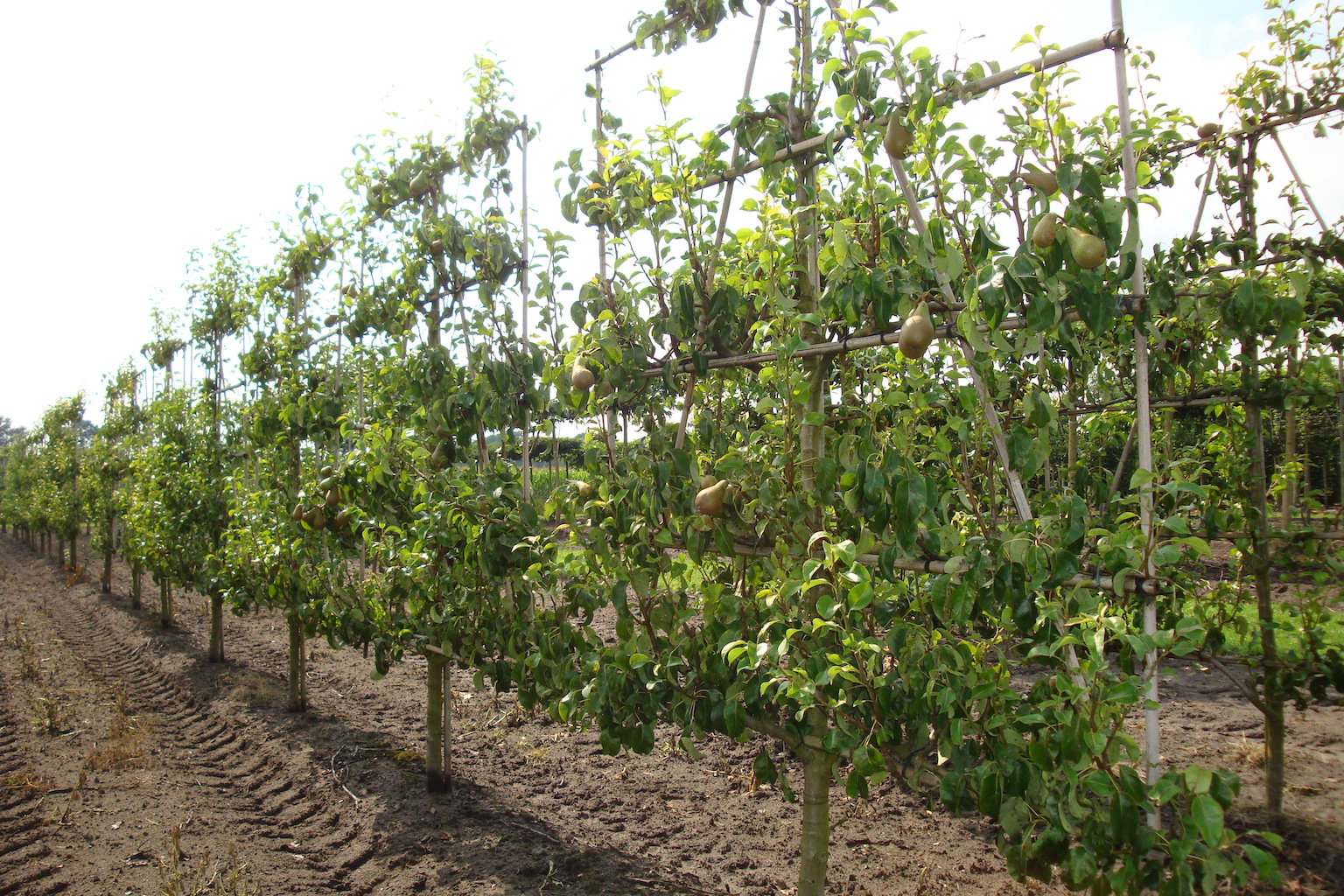 Pyrus communis 'Conference' low espalier pleached pear trees 14-16 grade