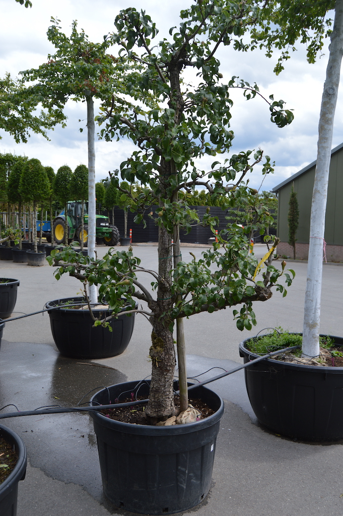 Pyrus communis 'Conference' orchard Pear tree