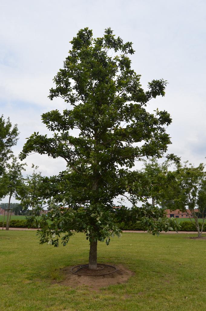 Quercus bicolor specimen tree