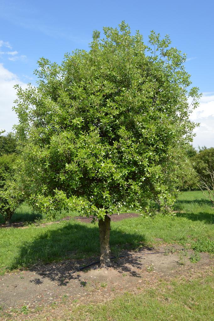 Quercus ilex (Holm Oak) mature specimen