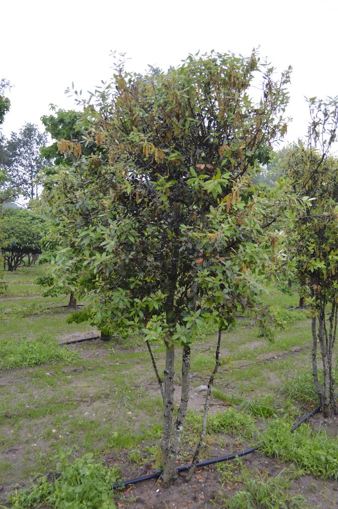 Quercus ilex (Holm Oak) multi-stem tree