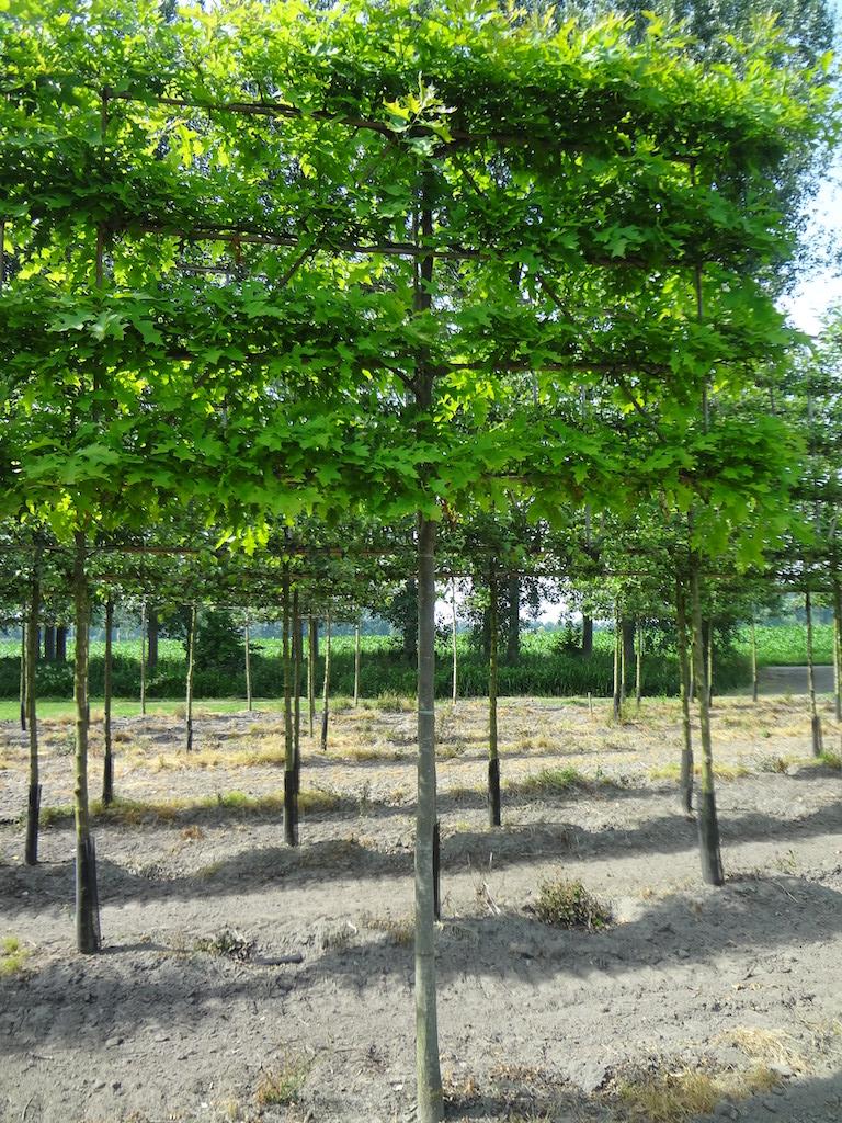 Quercus palustris (Pin Oak) pleached tree 16-18 grade