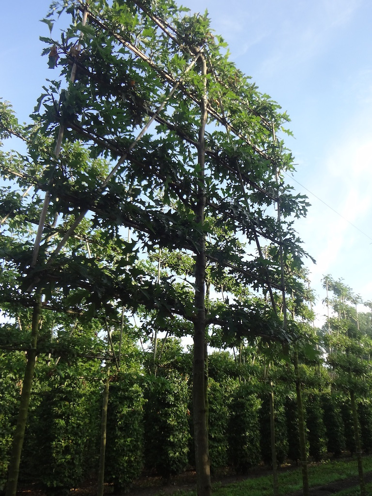 Quercus palustris (Pin Oak) pleached tree 20-25 grade with taller frame