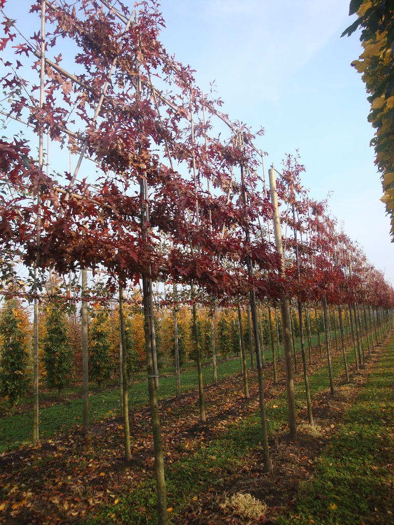 Quercus palustris (Pin Oak) pleached trees 18-20 grade with autumn colour
