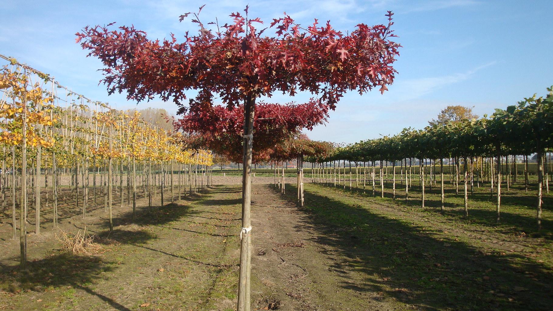 Quercus palustris (Pin Oak) roof form trees 16-18 grade in autumn