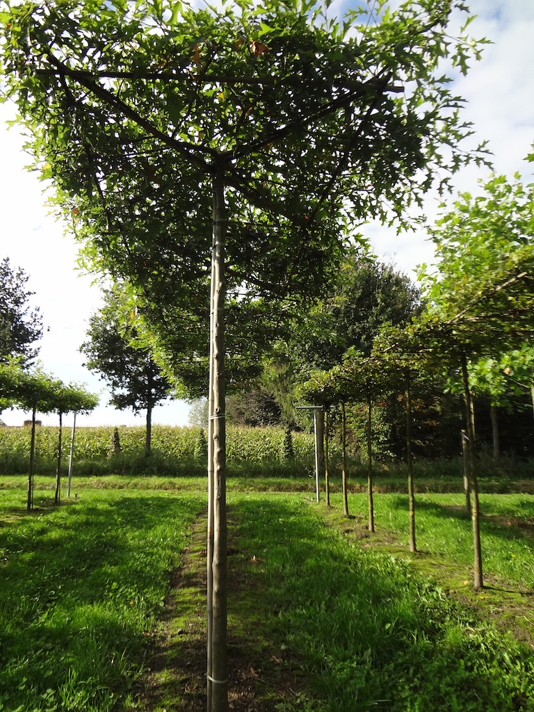 Quercus palustris (Pin Oak) roof form trees 16-18 grade with high clear stem (275cm)