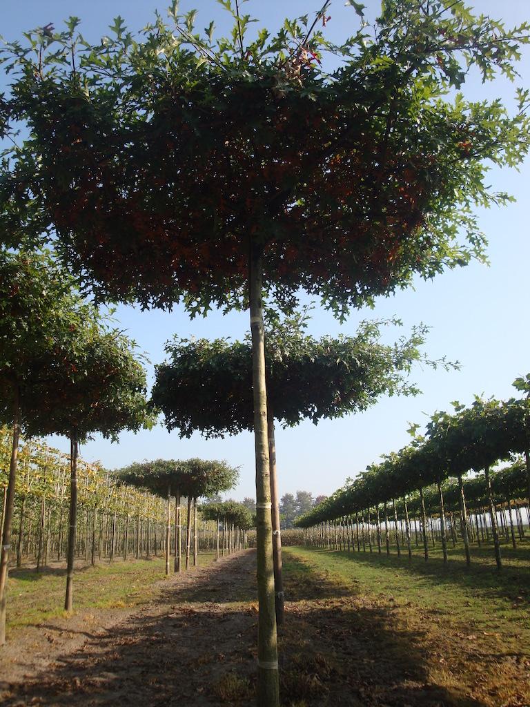 Quercus palustris (Pin Oak) roof form trees 18-20 grade