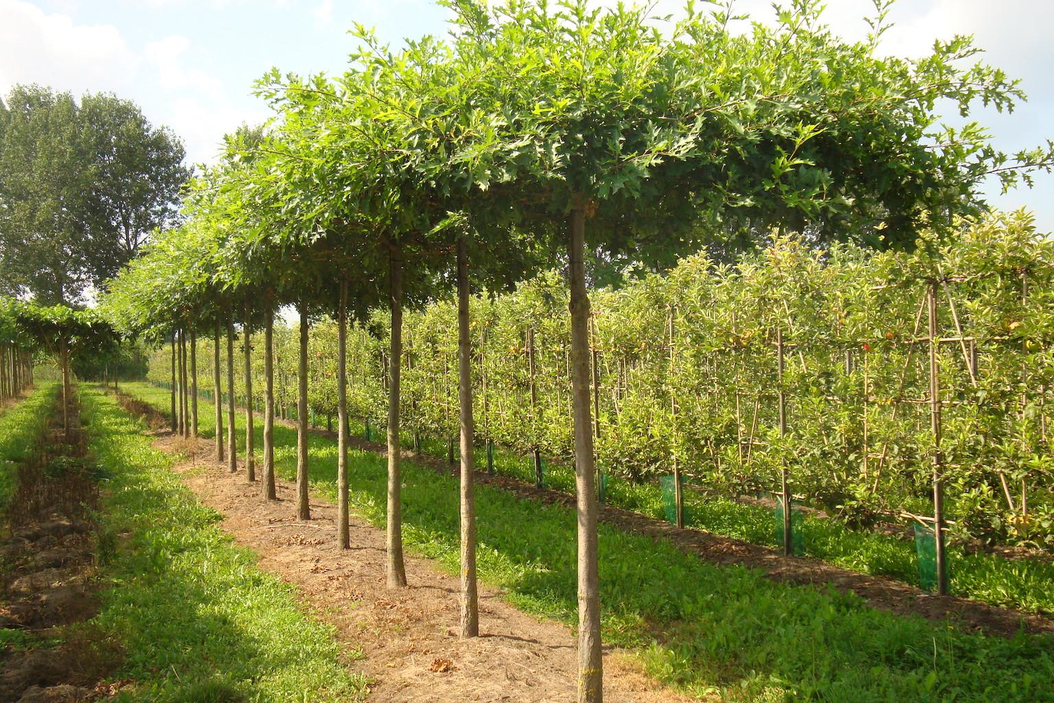 Quercus palustris (Pin Oak) roof form trees 20-25 grade