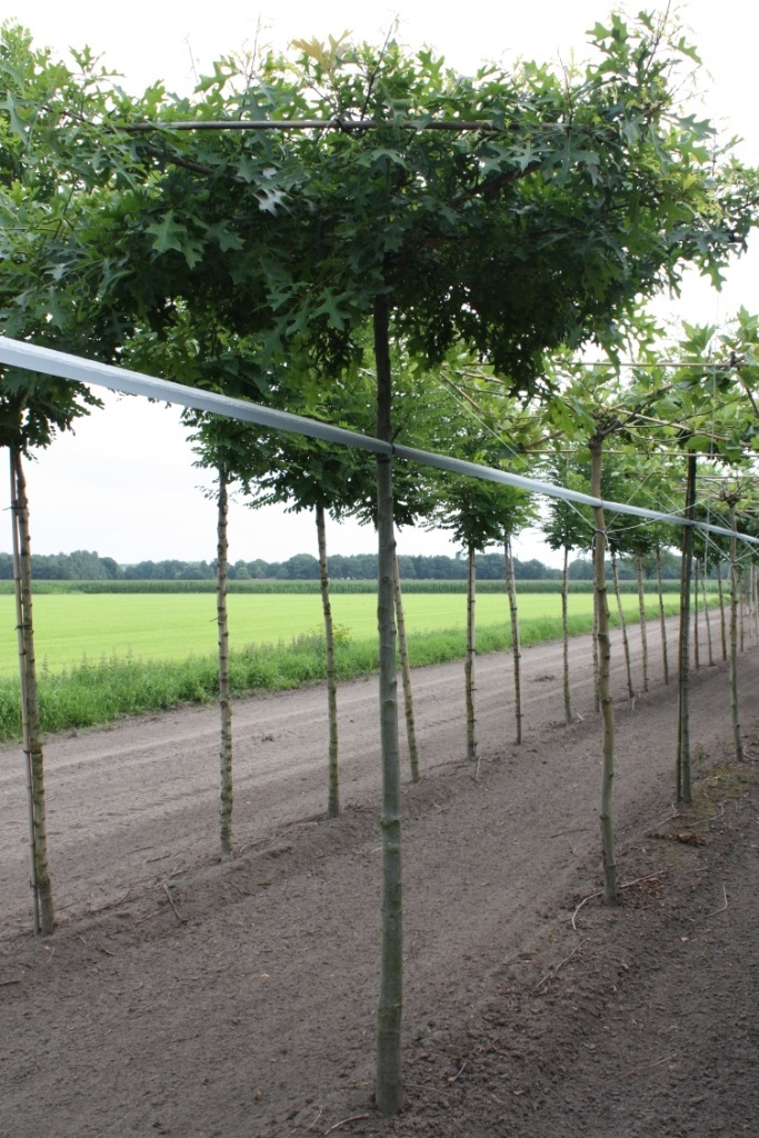 Quercus palustris roof-form 18-20 grade
