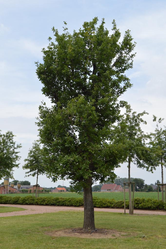 Quercus pubescens specimen tree