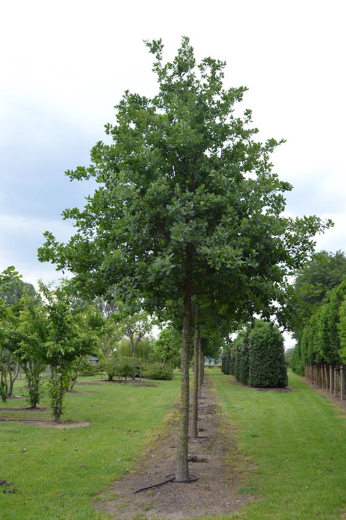 Quercus robur (Oak) specimen trees