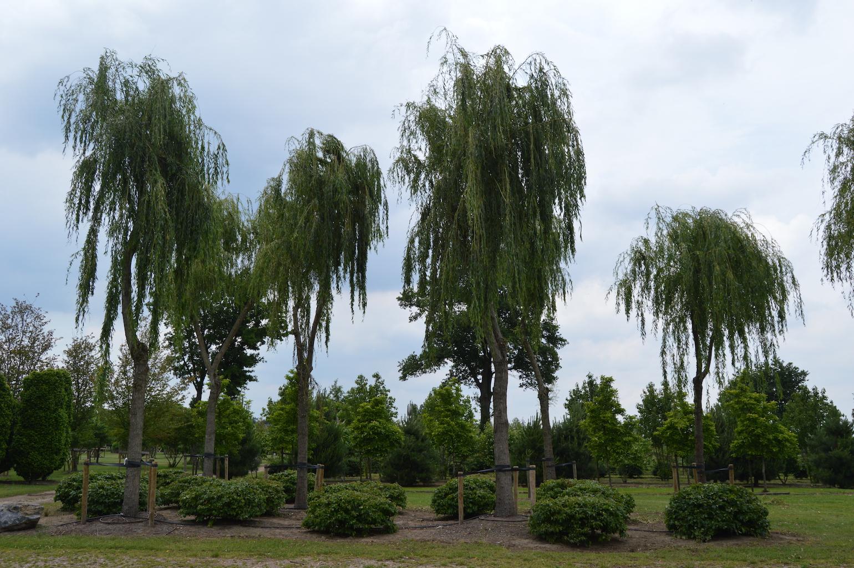 Salix alba 'Tristis' and Parrotia persica domes