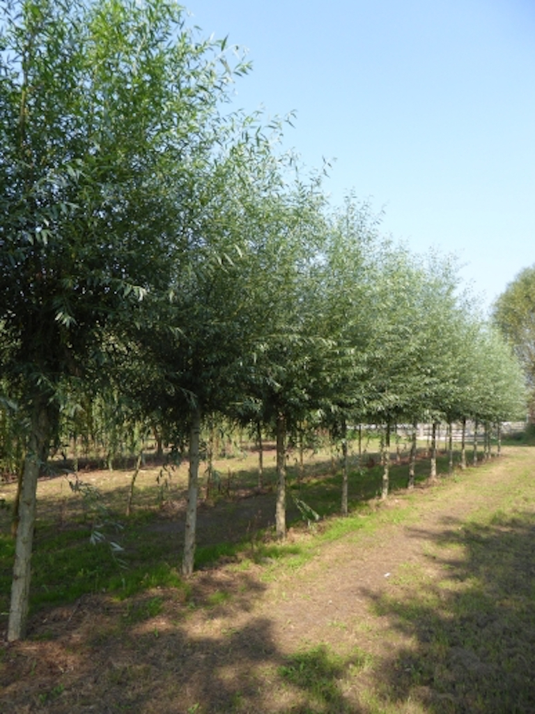 Salix alba pollarded 25-30 grade, 200cm stem height (1)