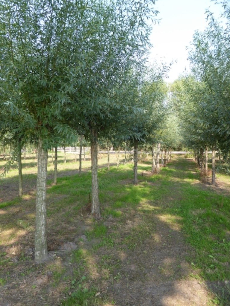 Salix alba pollarded 25-30 grade, 200cm stem height (2)