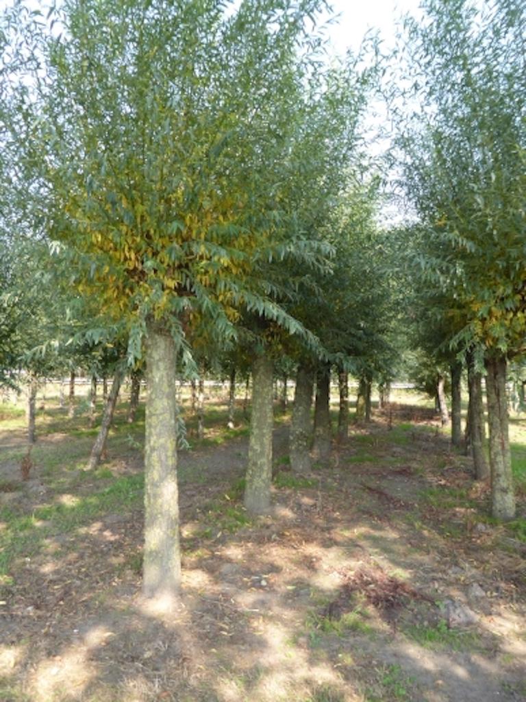 Salix alba pollarded 25-30 grade, 200cm stem height (3)