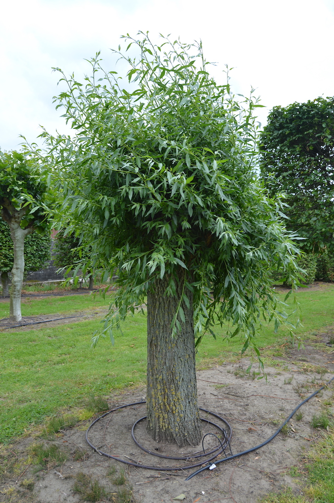 Salix alba pollarded tree (1)