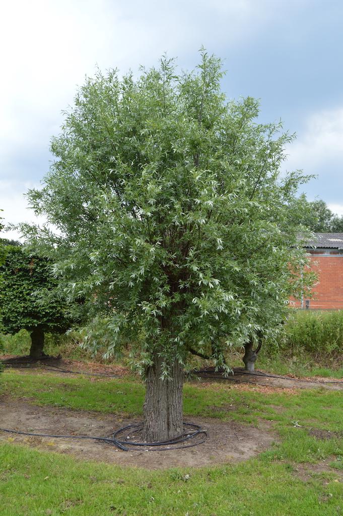 Salix alba pollarded tree (2)