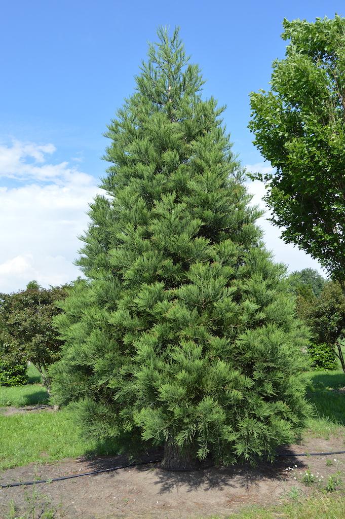 Sequoiadendron giganteum (Giant Redwood)