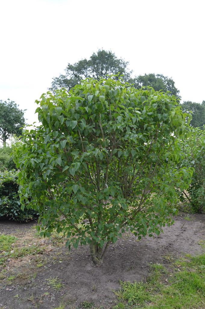 Syringa vulgaris 'Charles Joly' specimen shrub