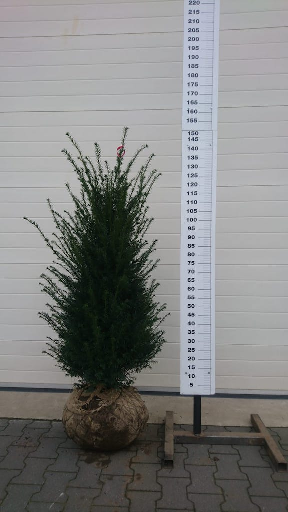 Taxus baccata 125-150cm root-ball Yew hedge plant